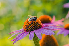 Bumblebee on a flower. Shaggy bumblebee collects a nectar Royalty Free Stock Images