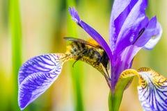 Bumblebee on flower Stock Photography