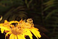 Bumblebee. Flower. Stock Image