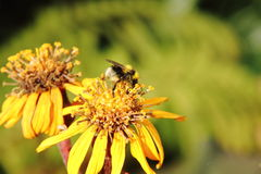 Bumblebee. Flower. Royalty Free Stock Photos