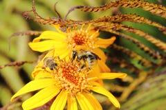 Bumblebee. Flower. Stock Photography