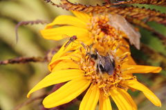Bumblebee. Flower. Royalty Free Stock Photography