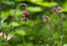 Bumblebee on a flower. Striped bumble bee collects pollen from a wild flower Stock Photo