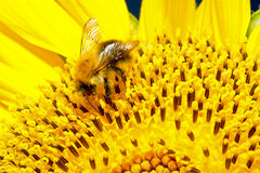 Bumblebee on a flower sunflower Stock Photography