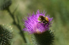Bumblebee on a flower. Bumblebee on Thistle flower the process of pollination of the flower Stock Photos