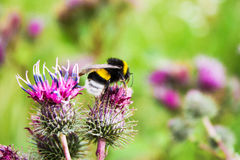 Bumblebee on a flower Royalty Free Stock Images