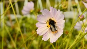 Bumblebee on flower stock video footage