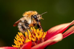 Bumblebee on the flower Royalty Free Stock Images