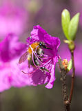 Bumblebee on a flower wild rosemary, Шмель на цветк Royalty Free Stock Image