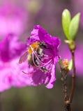 Bumblebee on a flower wild rosemary, Шмель на цветк Royalty Free Stock Image