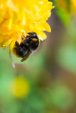 A bumblebee on a flower. A bumblebee working on a yellow flower Royalty Free Stock Photos