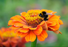Bumblebee on the flower of zinnia Stock Photo