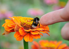 Bumblebee on the flower of zinnia Royalty Free Stock Images