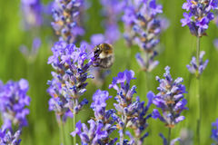 Bumblebee on flowering lavender Stock Photography