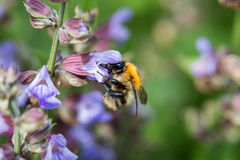 Bumblebee on flowering sage Stock Image