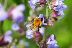 Bumblebee on flowering sage Royalty Free Stock Image