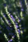 Bumblebee and flowering thyme. Big bumblebee and flowering thyme Royalty Free Stock Photos