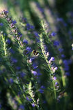 Bumblebee and flowering thyme. Big bumblebee and flowering thyme Stock Photo