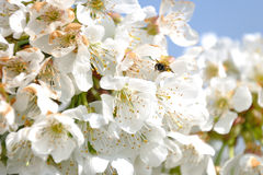 Bumblebee among the flowers of a cherry tree. Bumblebee placed on the flowers of a cherry tree Royalty Free Stock Image