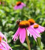 Bumblebee on flowers of Echinacea purpurea Stock Image