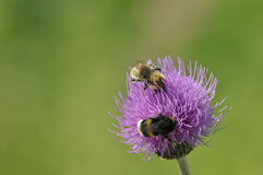 Bumblebee, flowers. Food in the form of nectar. Moving pollen Royalty Free Stock Photography