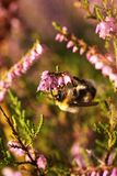 Bumblebee on the flowers of heather 2 Stock Image