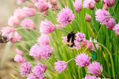 Bumblebee on flowers lens flare Royalty Free Stock Photography