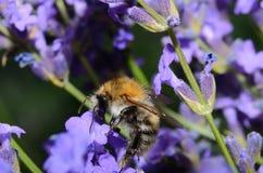 Bumblebee on flowers Stock Photo