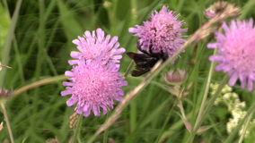 Bumblebee fly between flower blooms and collect pollen nectar stock video
