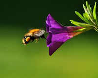 Bumblebee fly to purple petunia royalty free stock photos