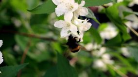 Bumblebee on Blossoming Tree stock video