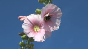 Bumblebee flying around two pink flowers stock video