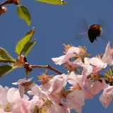 bumblebee flying on flower stock images
