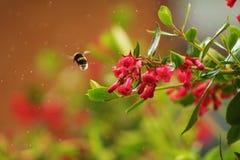 Bumblebee. Flying bumblebee in a garden Stock Images