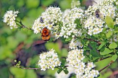 Bumblebee flying over a blooming white bush Stock Photo