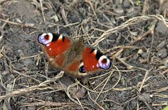 Awesome butterfly on the ground Royalty Free Stock Photo