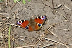 Awesome butterfly on the ground Royalty Free Stock Photography