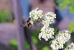 Bumblebee flying over a blooming white bush Stock Image