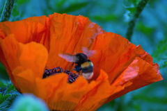 Bumblebee flying. Bumblebee flying over a blossoming poppy flower Royalty Free Stock Photography