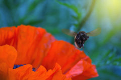 Bumblebee flying. Bumblebee flying over a blossoming poppy flower royalty free stock image