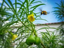 Bumblebee flying over yellow Cascabela thevetia flower with green fruits stock photos