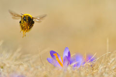 Bumblebee. Flying bumblebee in search of pollen Royalty Free Stock Photography