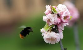 Bumblebee flying to the almond flower Royalty Free Stock Photos