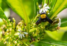 Bumblebee flying to flower chasing nectar royalty free stock photos