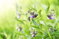 Bumblebee flying to a purple comfrey flower Stock Image
