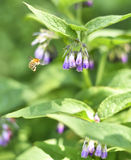 Bumblebee flying to a purple comfrey flower Stock Photos