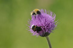 Bumblebee. Food in the form of nectar. Pollen. Royalty Free Stock Images
