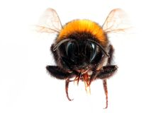 Bumblebee front view Stock Photography
