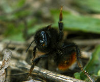 Bumblebee in funny pose yeah,baby Royalty Free Stock Image