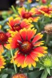 Bumblebee on a gaillardia flower Royalty Free Stock Photo